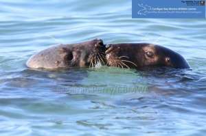Atlantic Grey Seals Photographed in Cardigan Bay
