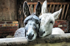 Donkeys @ Staglands