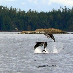 White-sided Dolphins jumping