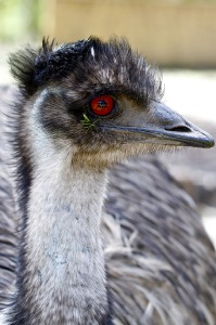 One of our 6 emus