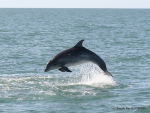 Bottlenose Dolphin Photographed in Cardigan Bay