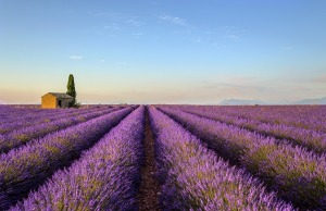 Valensole lavender tour