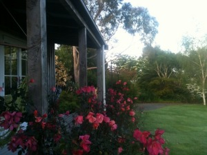Roses at Kamahi Cottage