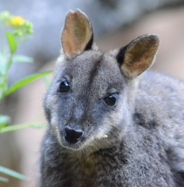 Jenolan is home to rare brush tailed rock wallabies