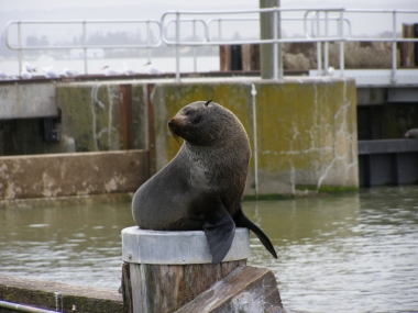 Seal at Barrage