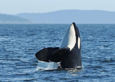 Spyhopping orca whale