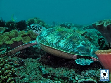 Lonely green turtle