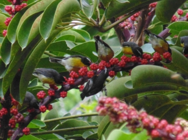 Bananaquits on the Umbrella Tree