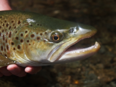 Back country Brown trout