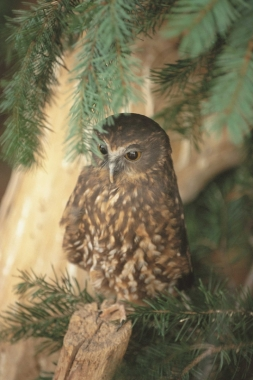 Molly, our Morepork