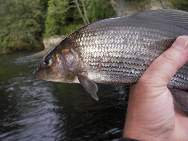 River Tees Grayling Fishing