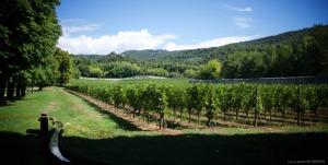 Amarone's vinyard