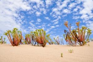 Native Coorong vegetation