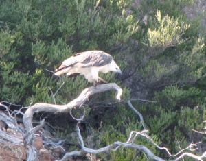 ested a tree on one of the cliffs is a sea-eagles nest